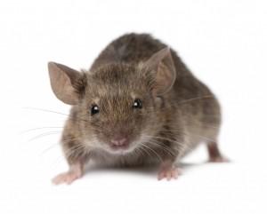 mice-1024x822