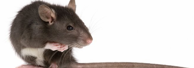 rodent control Perth