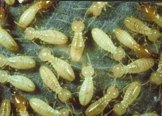 Termite control Perth