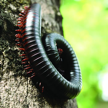 millipedes control