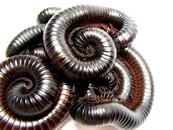 millipedes1
