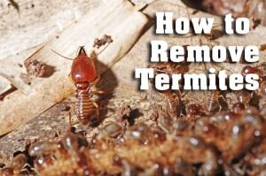 termites_on_log