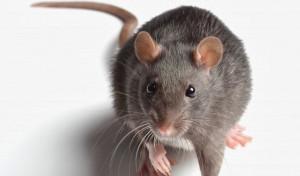 rats control services perth