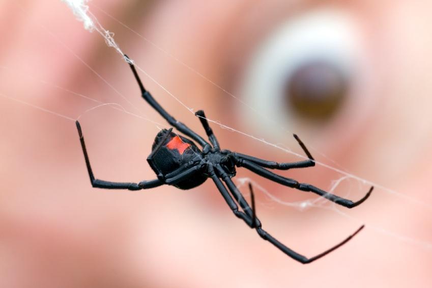 red back spider pest control