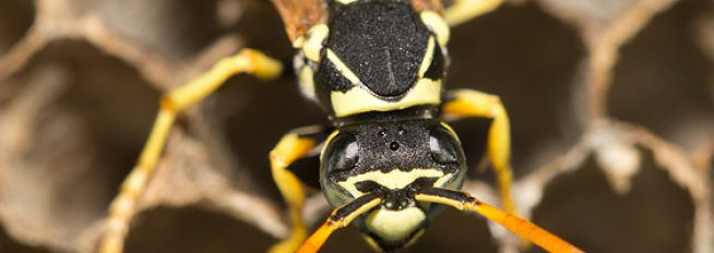 wasp pest control Perth