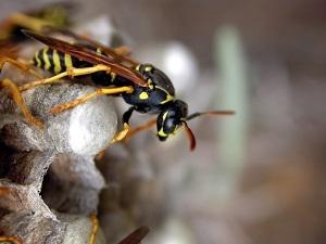 wasp control Perth