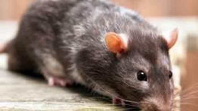 rats pest control services