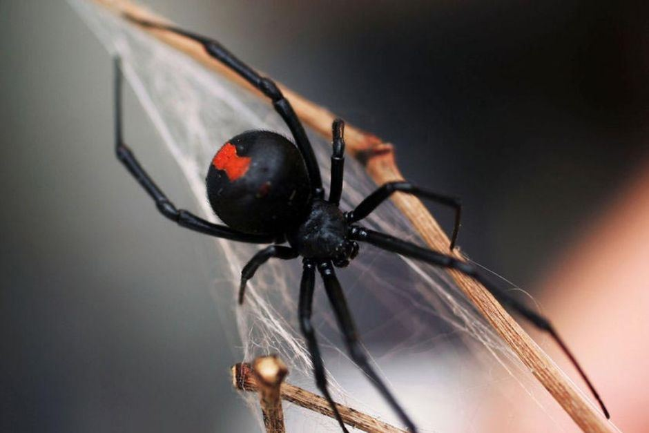 red back spider control services