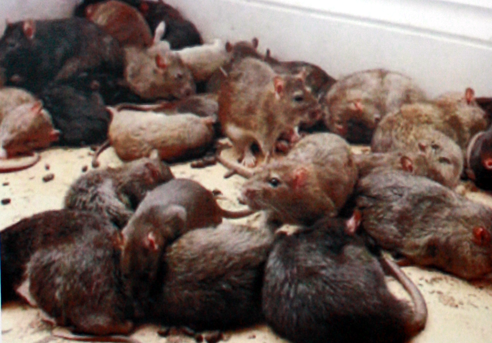 Get Rats Removal Services From A Wellknown Pest Control